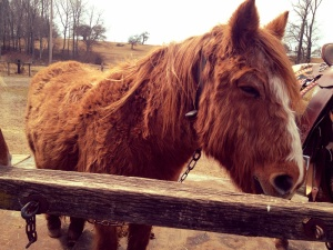 Scooter: the furriest and grumpiest of all the horses.